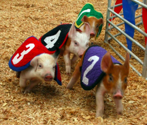 Swifty Swine Racing & Swimming Pigs