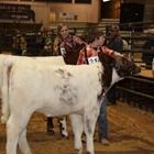 Breeding Beef Show
