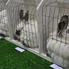 Market & Breeding Rabbits