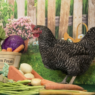 Chicken standing by vegetables