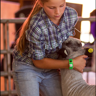 4-H youth showing her sheep