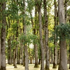 Stand of Oak trees in the Oak Grove