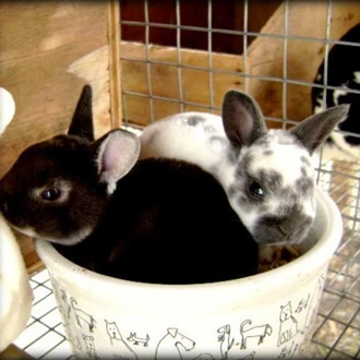 photograph - two small bunnies nestled in a bowl