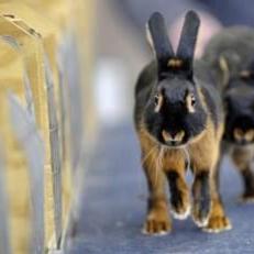 Photograph of a rabbit walking toward the camera