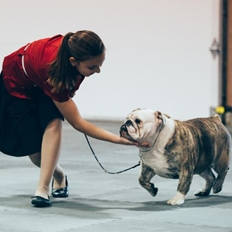 Photograph of bull dog and trainer trotting around the show ring