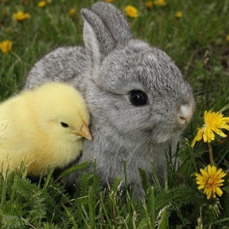 photograph of tiny yellow chick nestled next to a tiny grey bunny in the grass with dandilions
