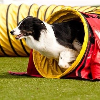 Agility dog emerging for course tunnel