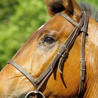 close up photograph of a horse in a bridle
