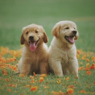 two puppies sitting in a field of flowers
