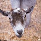 Photo: 4-H goat looking up at the camera