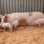 Photo: mother pig with three piglets