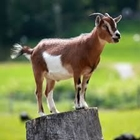 4-H Market Goat Fitting & Showing (All Meat Goats) - 11 AM (Approx)