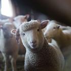 4-H Sheep Market Quality, then Open Class Sheep Market Quality - 9:00 AM