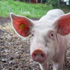 Entry for 4-H & Open Class Swine - 7:00 AM - 4:00 PM