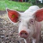 4-H Mandatory Swine Exhibitors Meeting - 8:00 AM