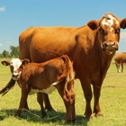 4-H Beef Market Quality followed by 4-H Steed-Feeder Class, 4-H Breeding Cattle - 1:30 PM