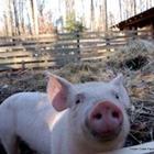Hog Calling Contest - After Swine Costume Contest