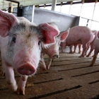 4-H Swine Weigh-In - 6:00 - 8:00 PM