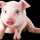 4-H Swine Market Quality, followed by Open Class Swine - 9:00 AM