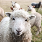 4-H Sheep Fitting & Showing - 9:00 AM