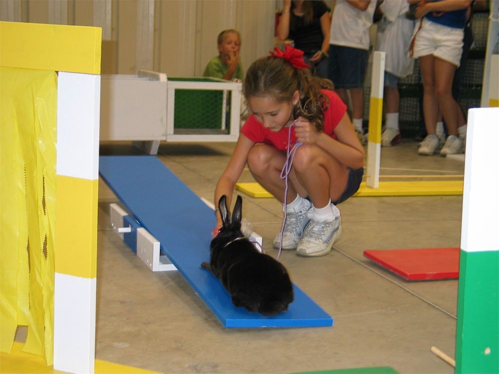 4-H girl and her black rabbit going through a rabbit obstacle course