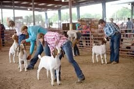 4-Hers showing their goats in the arena