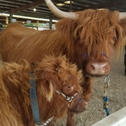 A Highland cow and calf tied to the fence