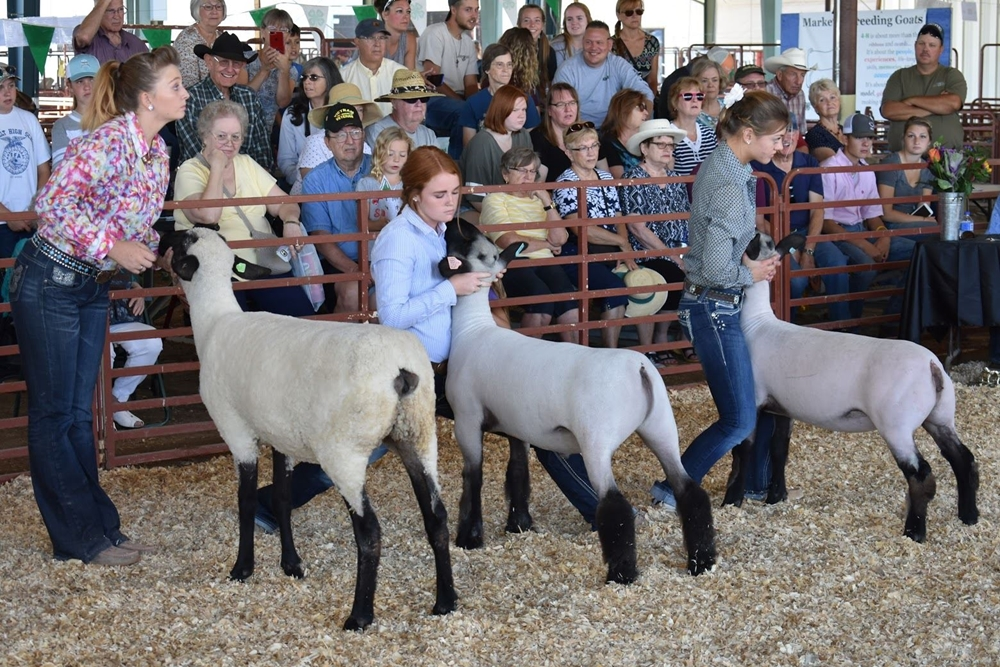 Three 4-H youths showing their animals at the Fair