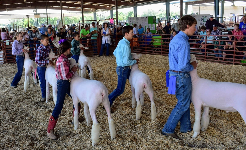 A Sheep class with 6 exhibitors