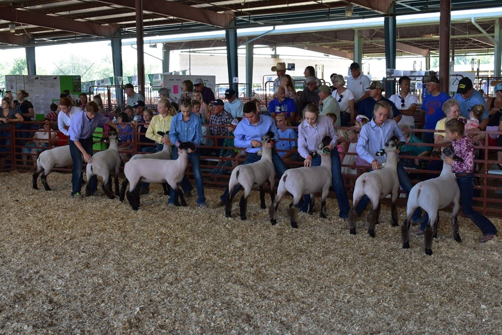 Eight exhibitors showing their animals in a class