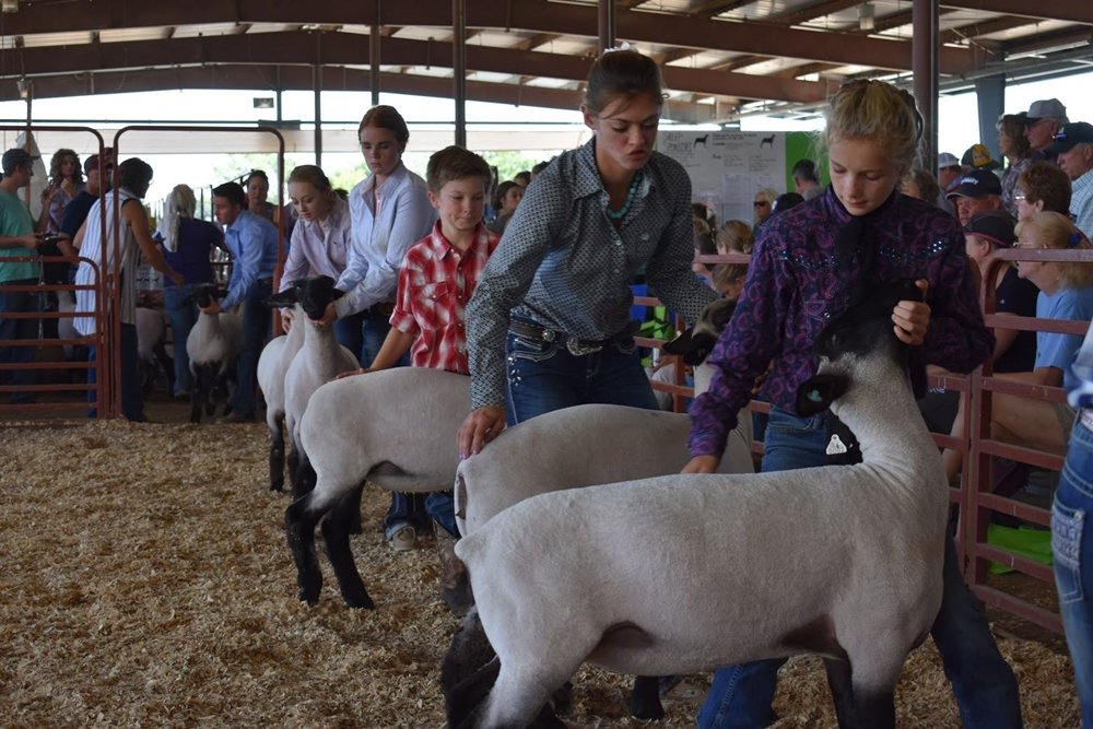 4-H youths showing their animals