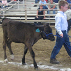 A 4-H youth walking a Dairy Calf in arena