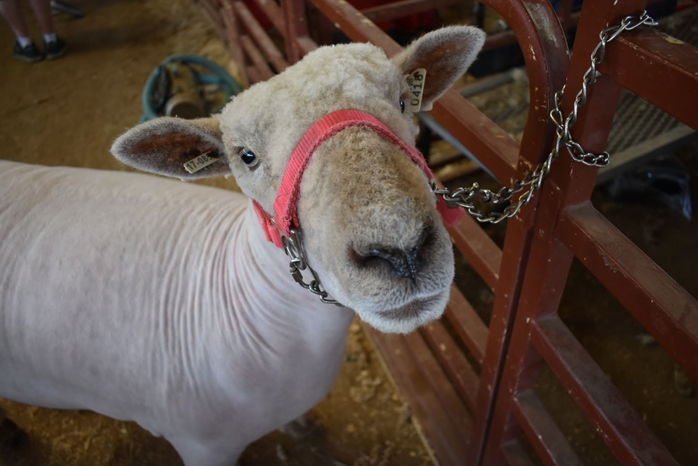 A sheep with a pink halter looking up at the camera