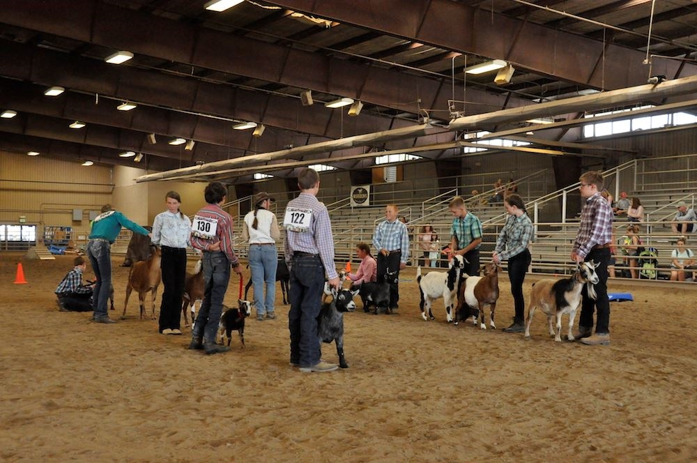 Utility Goat Showmanship