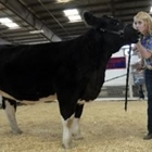 A 4-H girl showing her beef project in a class
