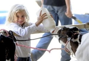 young girl bottle feeding a dairy calf