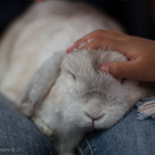 A rabbit sitting on a lap being petted