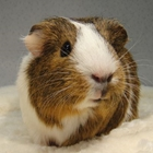 A brown and white cavy posing for the camera