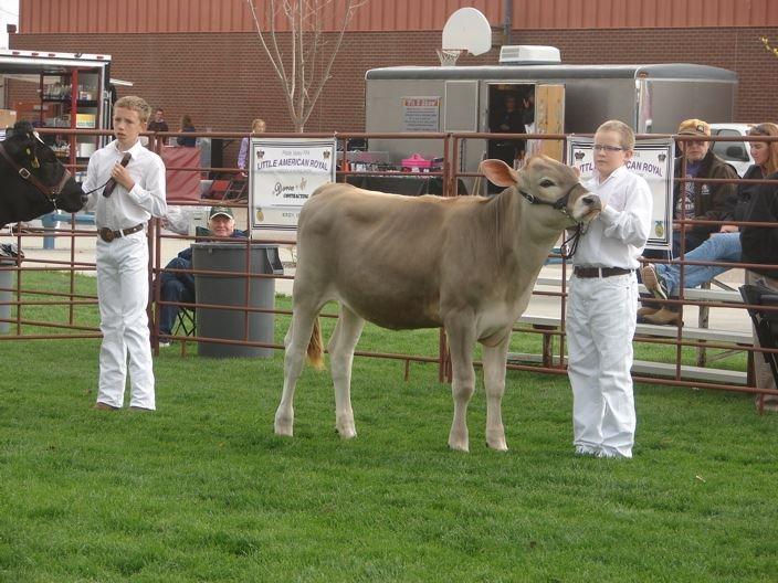 A4-H boy showing her Brown Swiss calf in a class