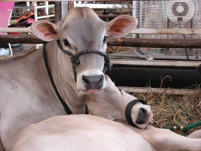 Two Brown Swiss Dairy Cows looking at the camera
