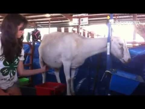 4-H youth milking her white dairy goat