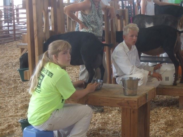 4-H youth milking her black dairy goat