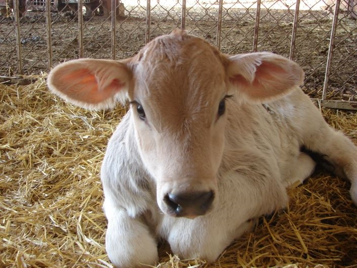 A dairy calf laying down in the barn