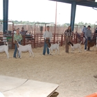 Exhibitors showing goats at the fair
