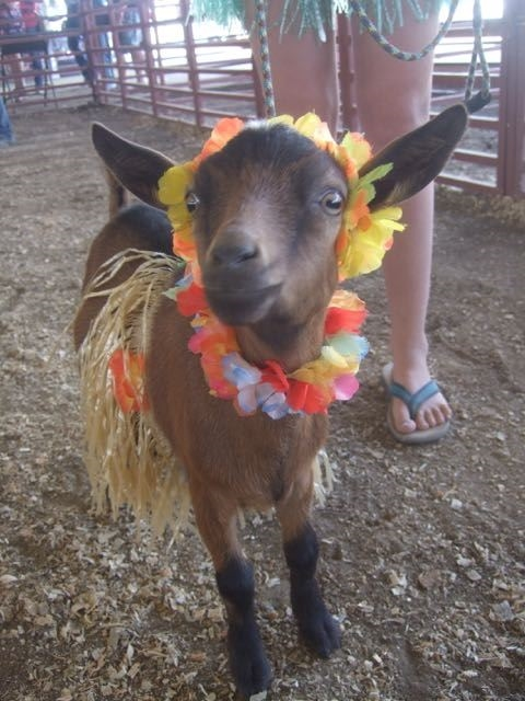 Baby goat with a decorative wreath on its neck