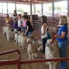 4-H youths showing their fiber goats in a class