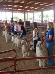 4-H youths showing their fiber goats at the Fair