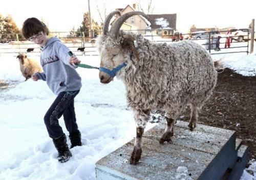 Girl walking her fiber Goat up an obstacle