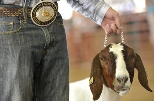 4-H youth leading his brown and white market goat