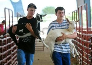 Two boys carrying baby goats